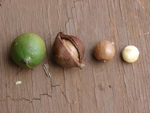 Купить Орех Макадамия (Australia)