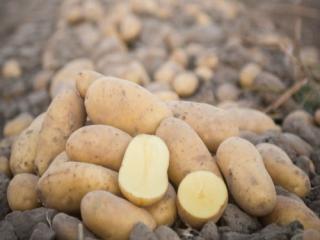 Купить Картофель домашний белый сорт ГРАНАДА , калиброваный среднего размера