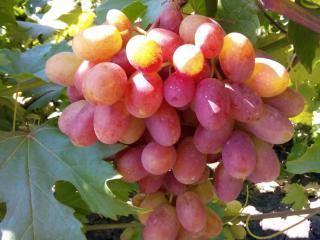 Купить Виноград сорта Преображение