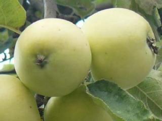 """Купить Яблоки, сорт """"Снежный Кальвин"""" ОПТ"""