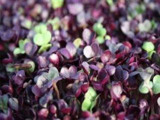 Купить Редис фиолетовый пророщенный (microgreen)