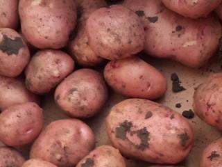 Купить Картофель молодой розовый сорта Славянка