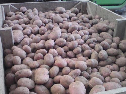 Купить Картофель, из погреба, домашний, разнокалиберный