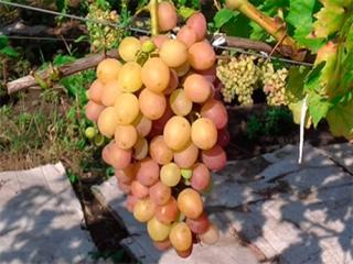 "Купить Виноград, сорт ""Ливия"""