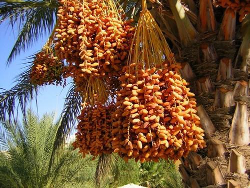 Купить Финики Baraka (Тунис)