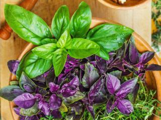 Купить Микс базилика: зеленого и фиолетового